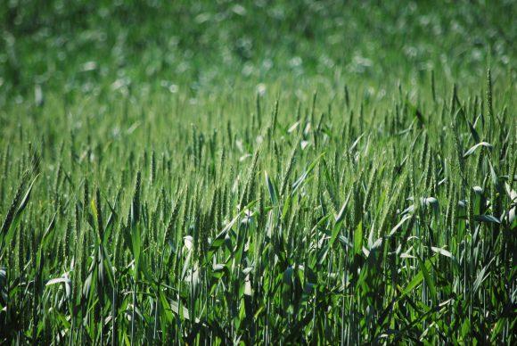 spring_wheat